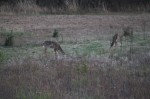 Some of our deer feeding at dusk