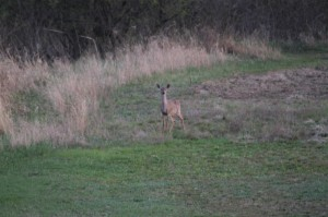 Another deer coming up from the marshy area