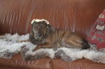 Mr. Cody on the double sheepskin from our Scotland trip