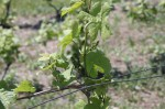 Baby grape clusters starting at Ciccone Winery