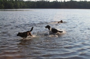 Jasper, Bear and Cody play fetch stick in the lake