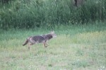 One of the coyotes makes an appearance
