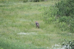 The coyote trots through the wildflowers back to the marshy area