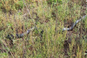 A snake we spotted while out for a walk. Ade thinks it might either be a Blue Racer or a Rat snake.